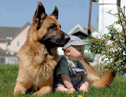 Chia sẻ kinh nghiệm chọn chó Becgie con tốt
